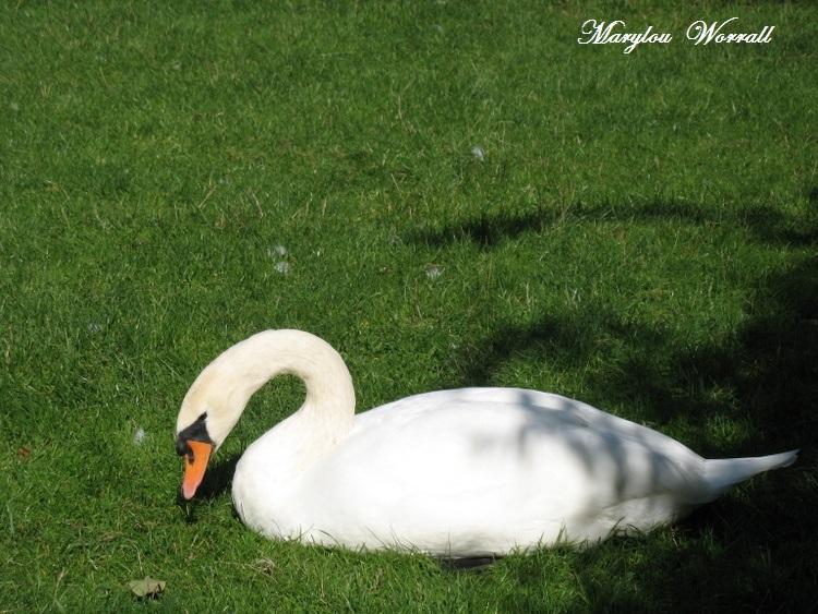 Colmar : Les cygnes de la lauch