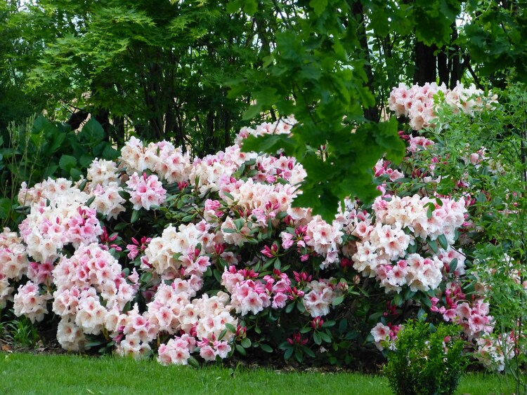 Rhodo Virginia Richard