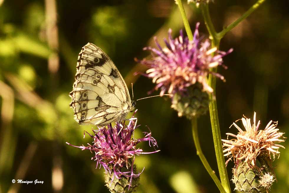 Papillon Demi-deuil femelle