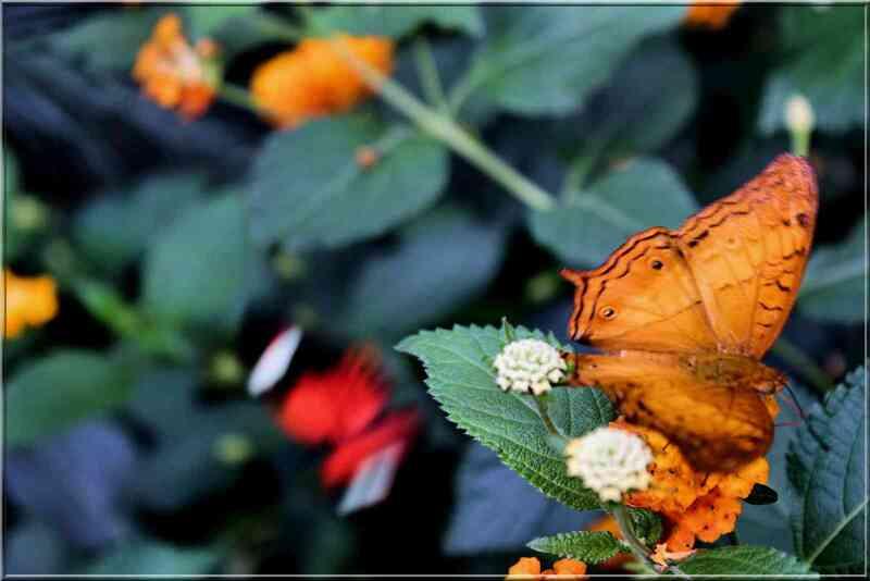 Papillons tropicaux Vindula dejone