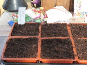 Semer des courgettes