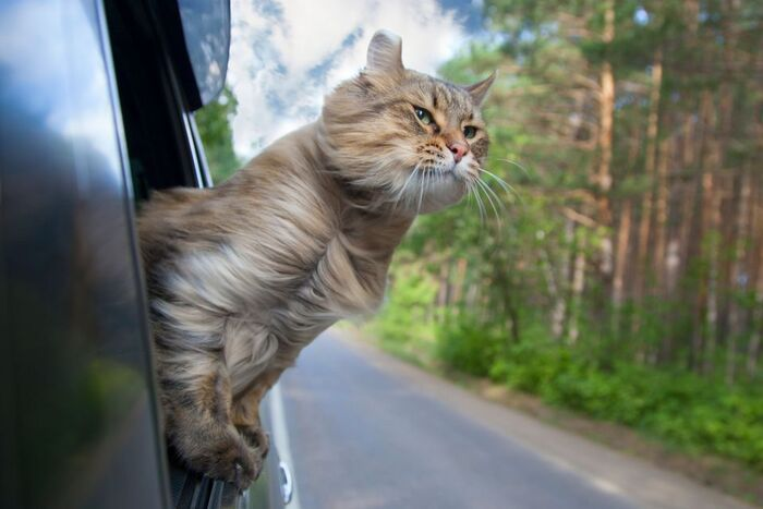 Ce chat parcourt 800 km en BlaBlaCar pour rentrer chez lui