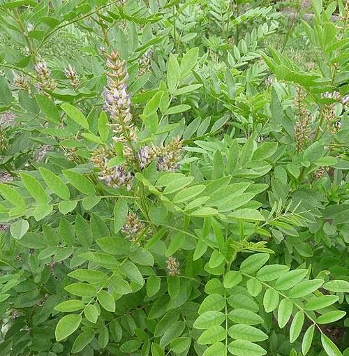 Vertus médicinales des plantes sauvages : Réglisse