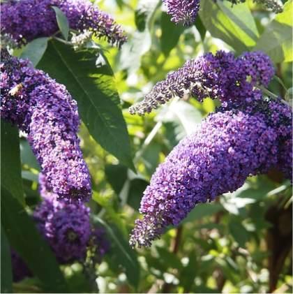 Photo d'arbre aux papillons - Buddleja davidii