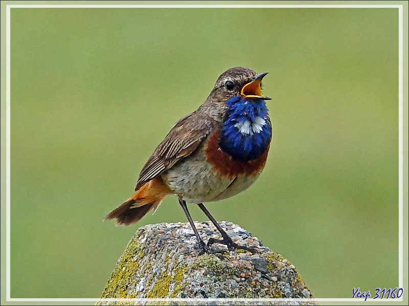 Gorge-bleue à miroir, Bluethroat (Luscinia svecica) - Loix - Ile de Ré - 17