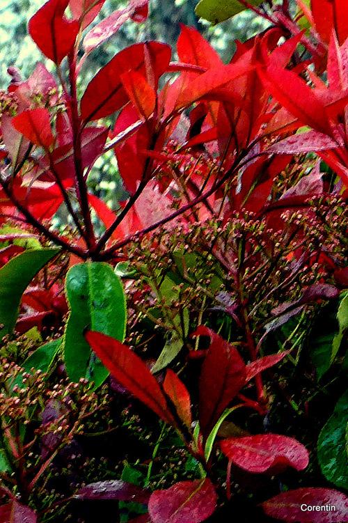 Les feuilles rouges après la pluie