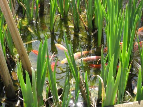 poissons rouges dans leur bassin