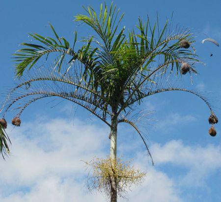 Palmier, nids de belier tisserin et parapente.