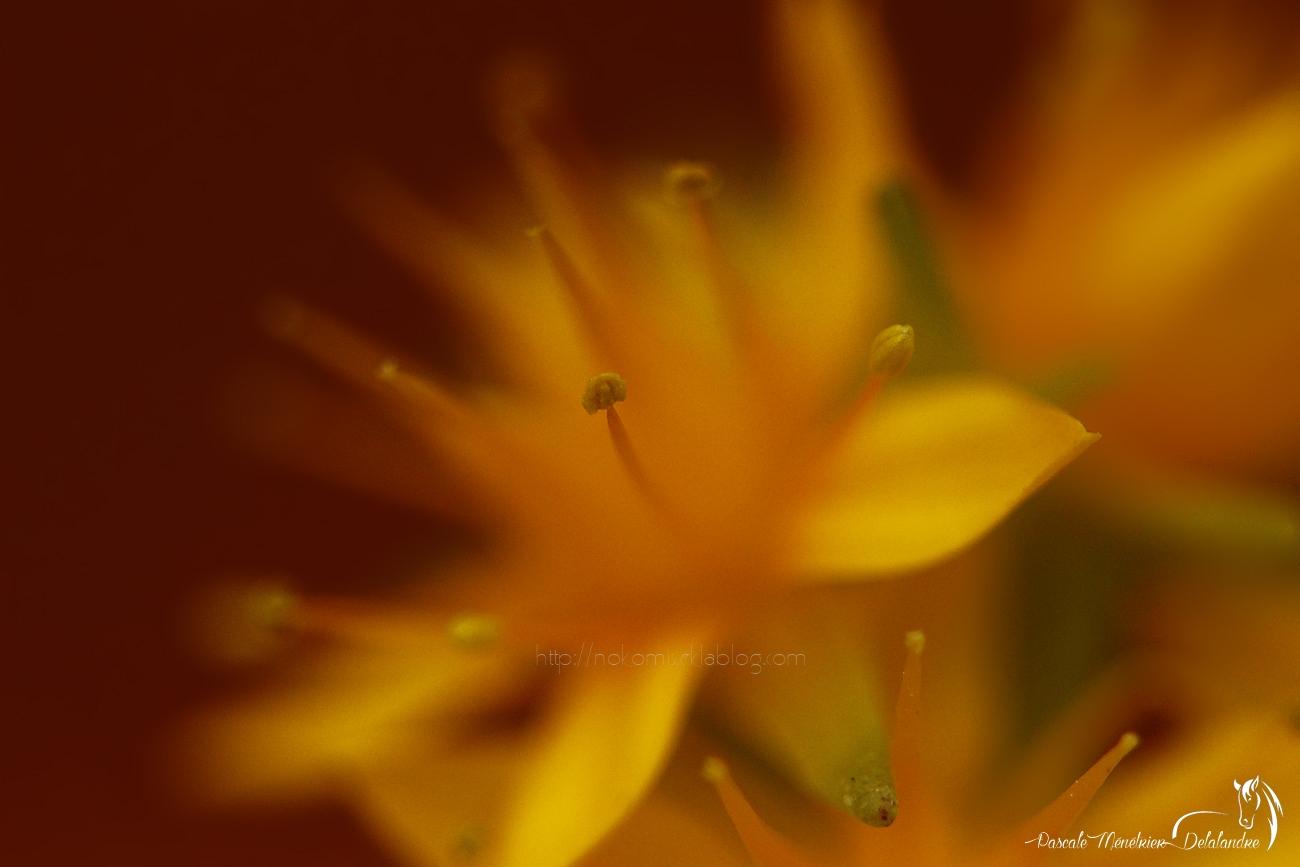 Fleur d'Aeonium haworthii