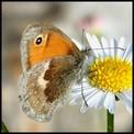 Galerie LEPIDOPTERES - RHOPALOCERES - Papillons de jour.