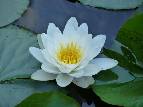 nénuphar - fleur d'eau