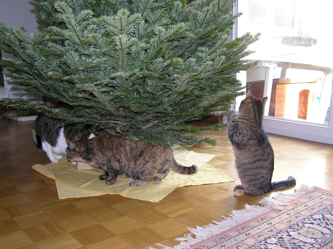 Inspection du sapin par les chats