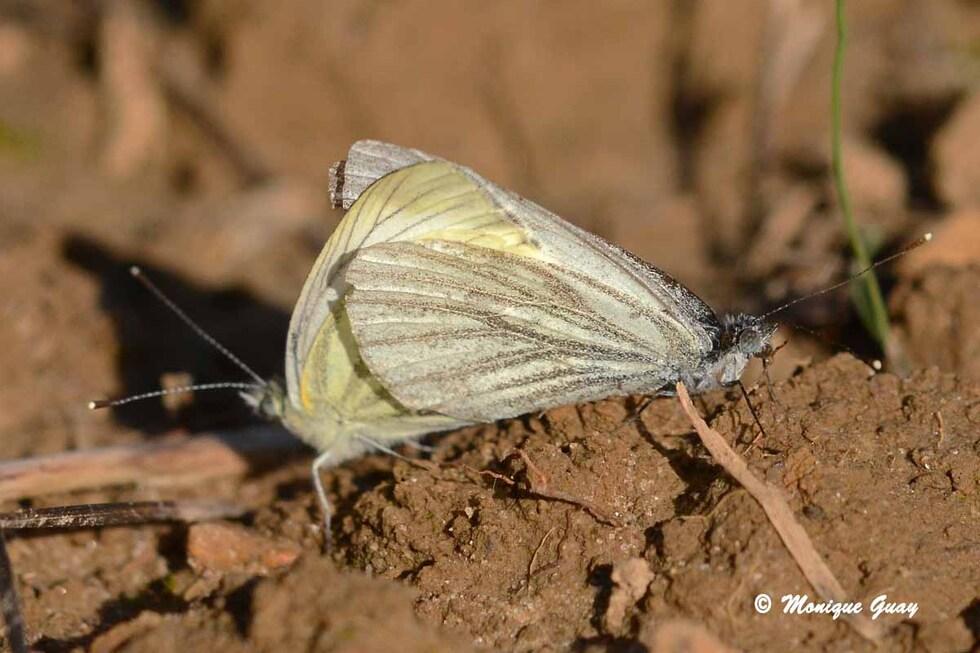 Papillons en accouplement