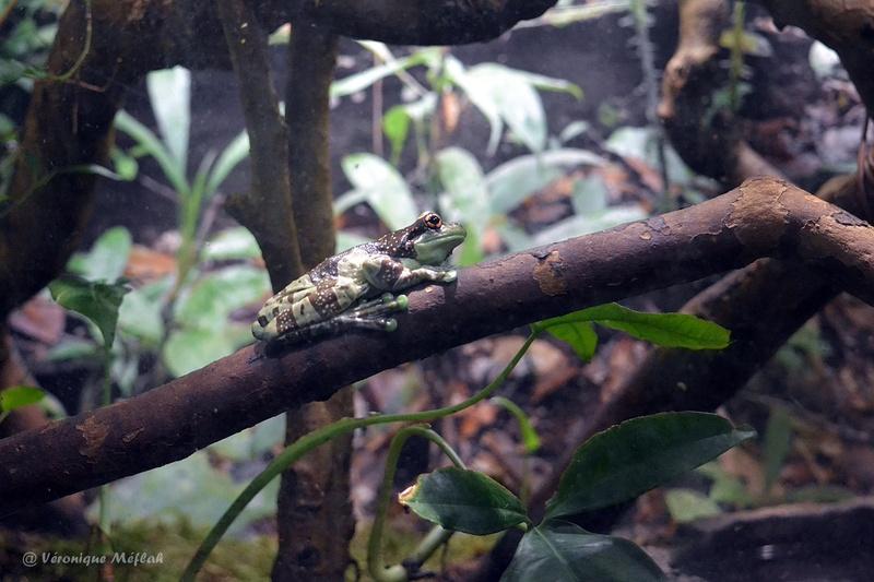 Ménagerie du Jardin des Plantes : Le Vivarium : Rainette Kunawalu
