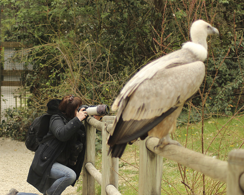 Portraits de Vautour africain - Gyps africanus - White-backed Vulture