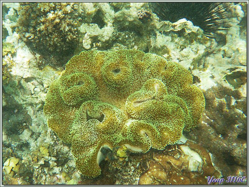 Sarcophyton ou Alcyonaire pédonculé ou Alcyonaire champignon ou Corail cuir (Sarcophyton sp.) - Anse Marie-Louise - Mahé - Seychelles