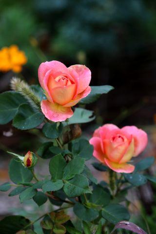 Les Roses de Warren : Oh Sunny Days
