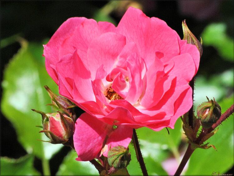 Photo de rose rouge (fleur-flore)