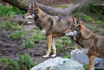 Les loups rouges ...