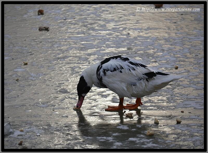 Lac Daumesnil Paris 12ème : L'hiver est rude