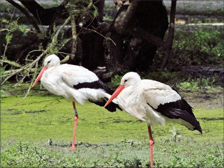 Photo de Cigogne blanche - Marais aux Oiseaux