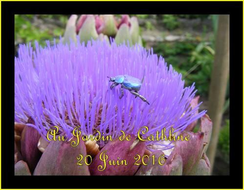 Flaeur d'artichaut et scarabé bleu   à identifier