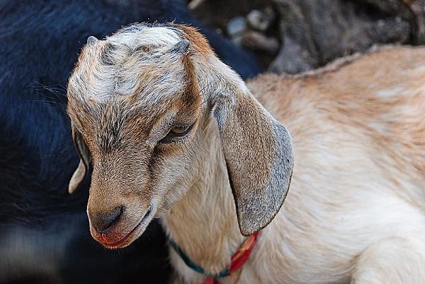 800px-Goat_kid_2.jpg