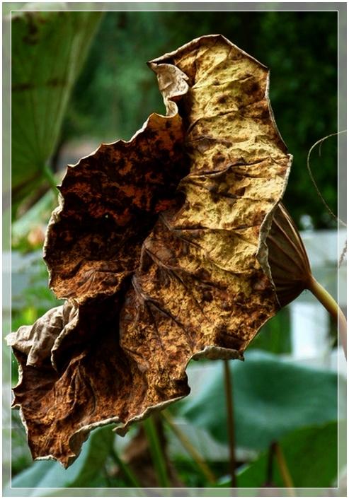 Lotus en automne