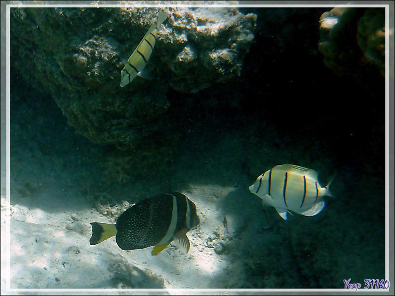 Poisson-chirurgien pintade ou moucheté, Whitespotted surgeonfish or Spotted surgeonfish or Mustard tang Acanthurus guttatus) - Maupiti - Polynésie française