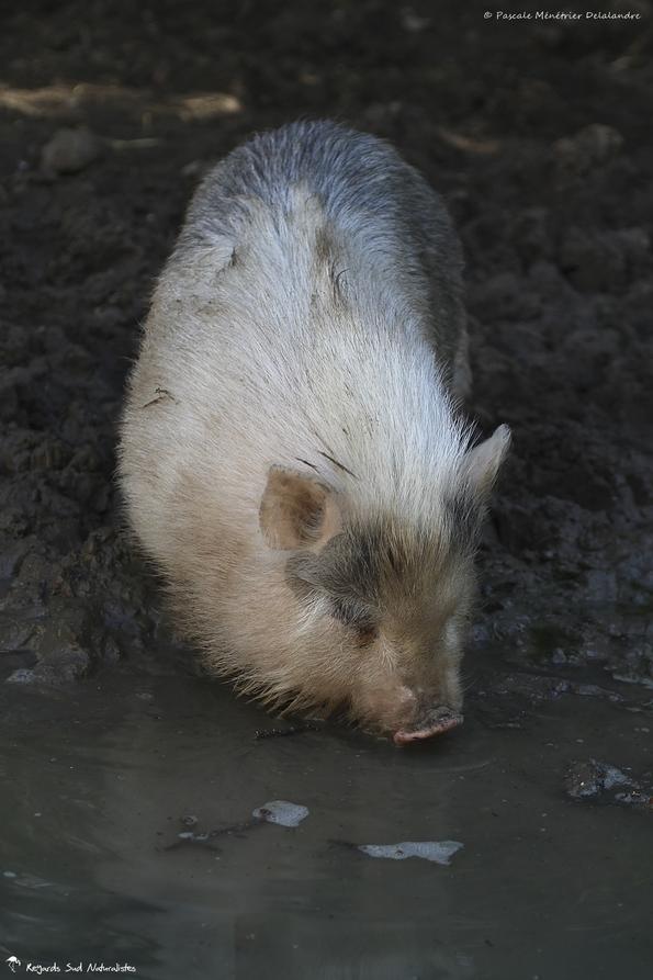 Cochon domestique croisé Cochon asiatique (arrières grands parents)