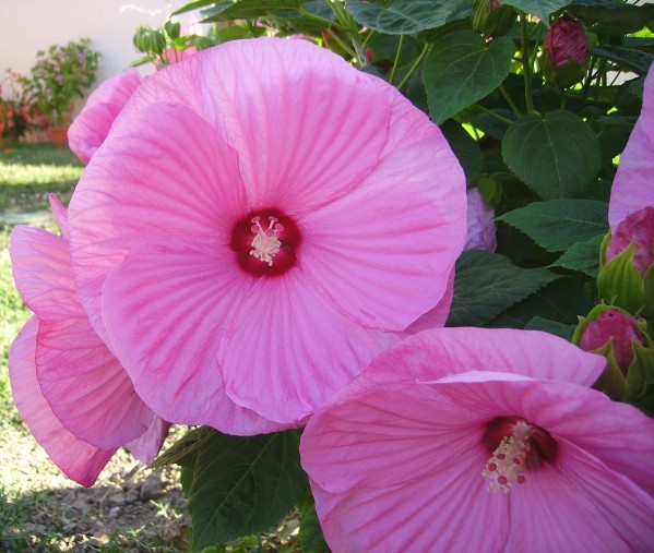 Hibiscus-moscheutos-3.jpg