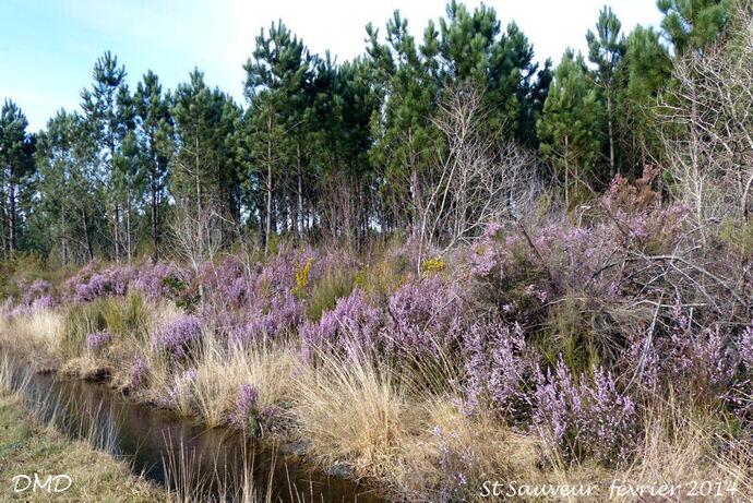 Erica carnea subsp. occidentalis  -  Erica erigena