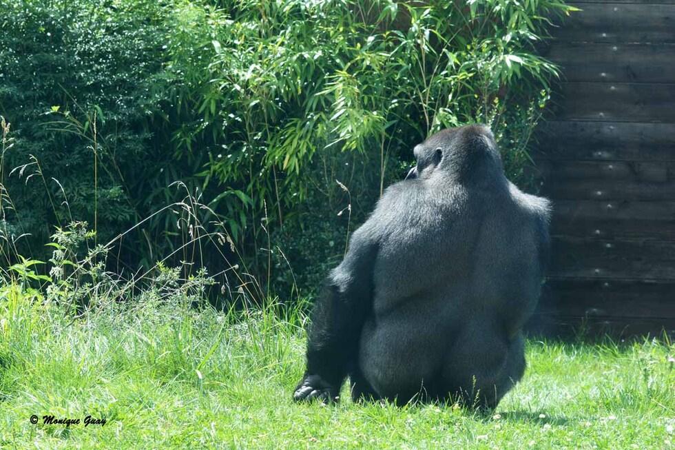 Les gorilles de l'Est