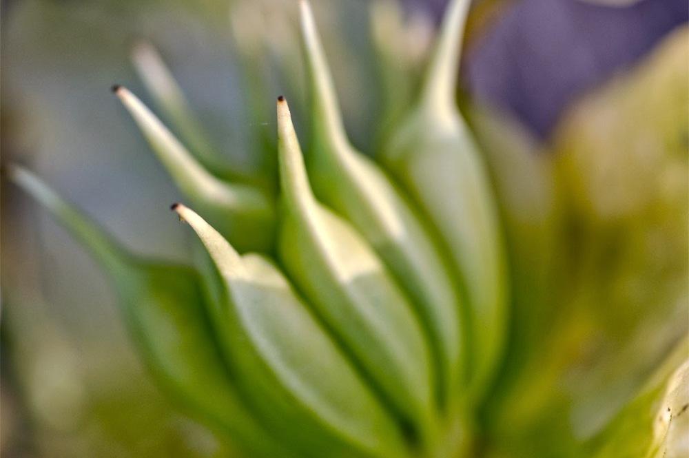 hellebores en fleur