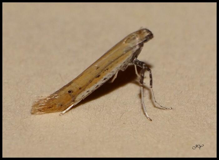 Aspilapteryx tringipennella.