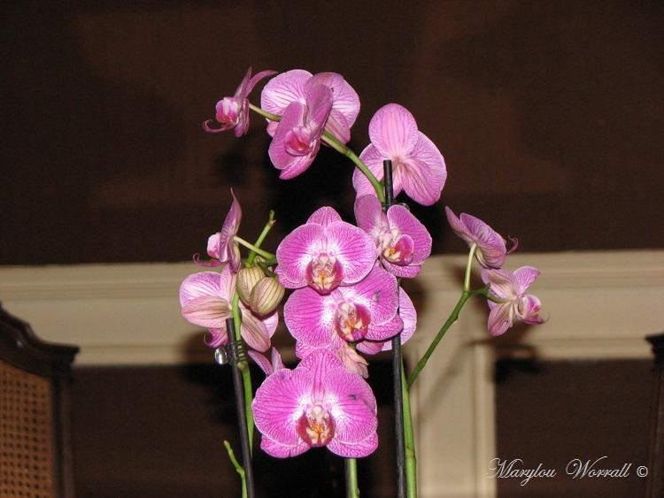 Encore une Orchidée sauvée