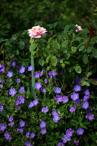 Des compagnes pour mes roses : Geranium Rozanne