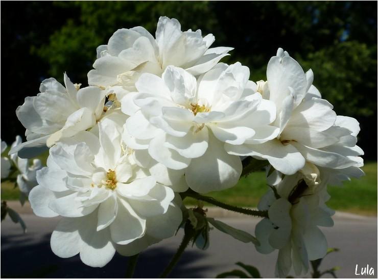 "rosier grimpant, grandes fleurs ""guirlande d'amour"""