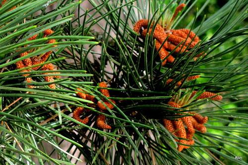 Le pin en juin