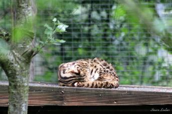 Chat léopard du Bengale