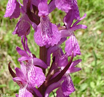 Dactylorhiza elata - orchis élevée