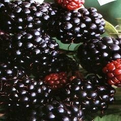 fruits noirs.jpg