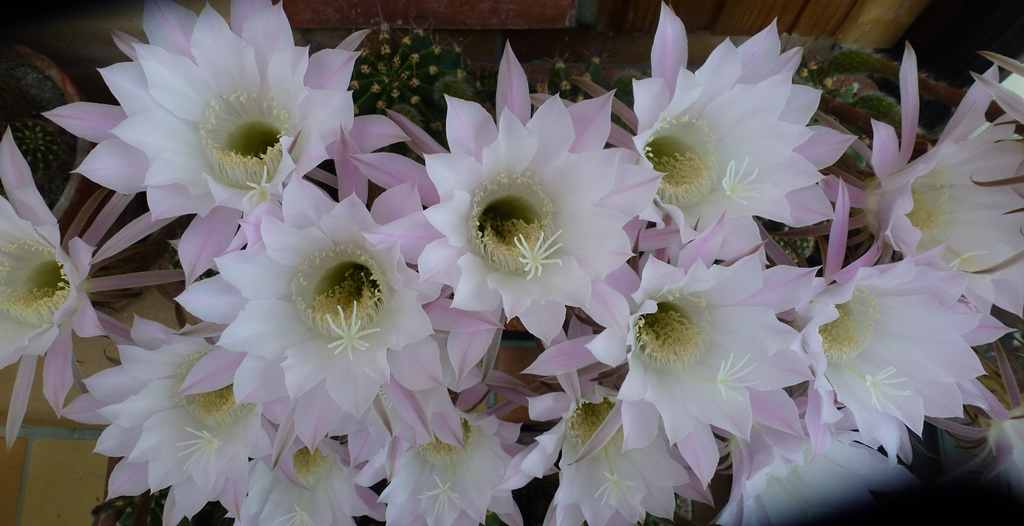 Fleurs de cactus.