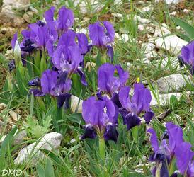 Iris lutescens - iris jaunâtre