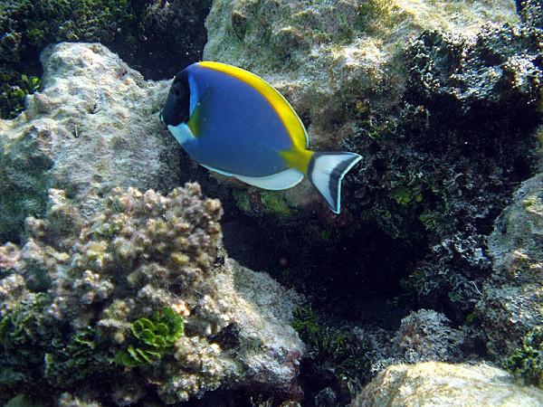 800px-Maldives_surgeonfish_Acanthurus_leucosternon_199.jpg