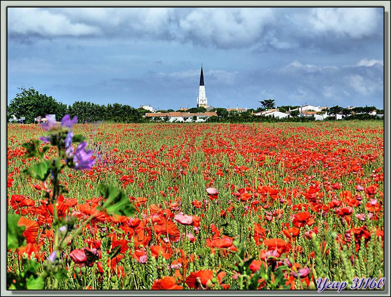Le champ de blé, les coquelicots et le clocher (Léger traitement HDR) - Ars-en-Ré - Ile de Ré - 17