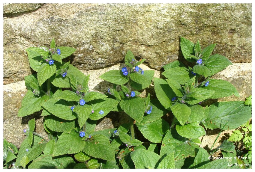 Buglose - La fleur