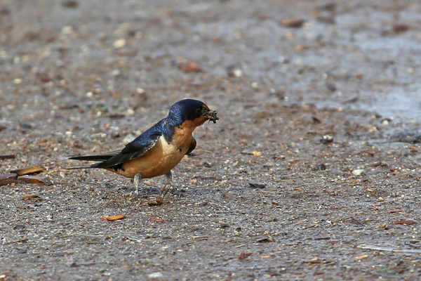 Barn Swallow - Long Beach