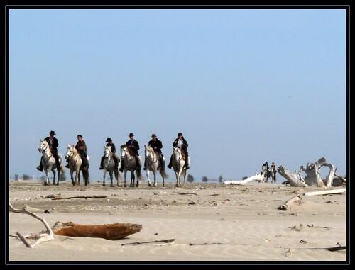 Chevaux camarguais... et leurs cavaliers !