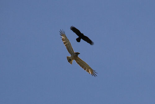 Circaète Jean (Short-toed Snake Eagle)